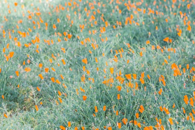Поле маков Калифорнии & x28; Californica& x29 Eschscholzia; стоковое фото rf