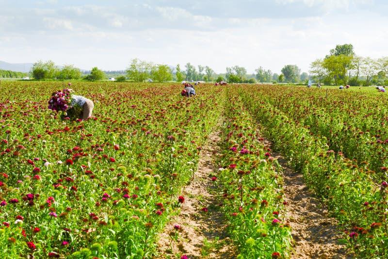 Поле маргаритки лужайки с подборщиками цветка стоковые фотографии rf