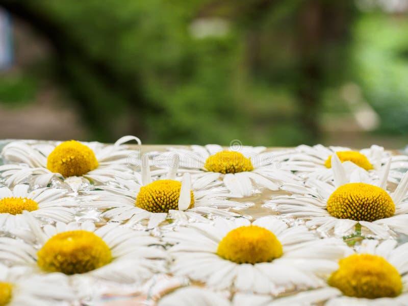 Поле маргариток плавая в воду Стоцвет с падениями воды Цветки с белыми лепестками и желтыми pistils стоковые изображения