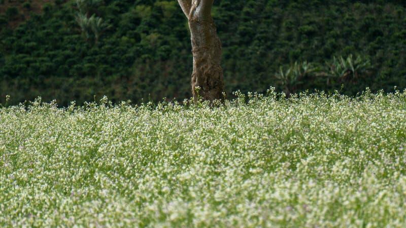 Поле мустарда с белым цветком в DonDuong - Dalat- Вьетнаме стоковые изображения rf
