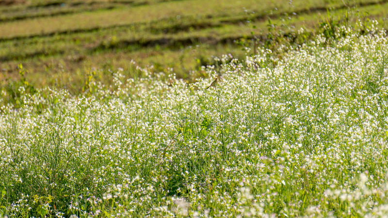 Поле мустарда с белым цветком в DonDuong - Dalat- Вьетнаме стоковая фотография rf