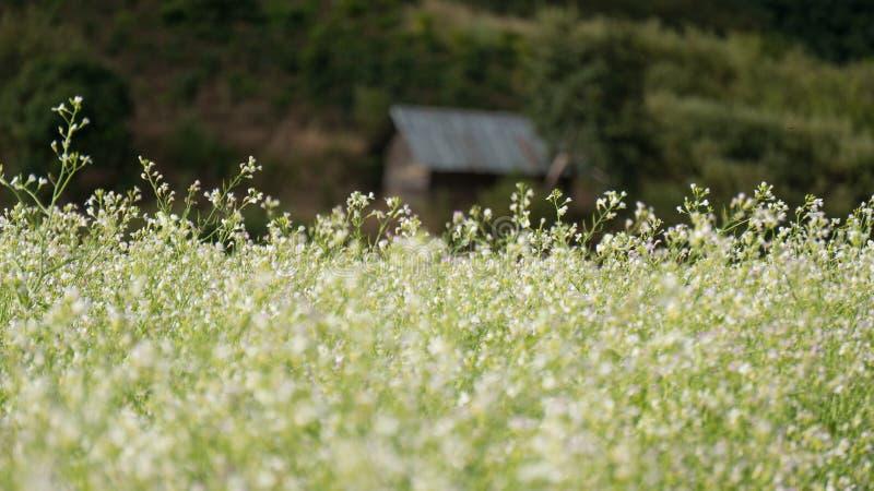 Поле мустарда с белым цветком в DonDuong - Dalat- Вьетнаме стоковые изображения