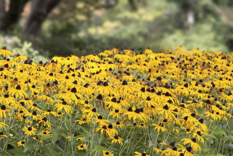 Поле наблюданных чернотой цветков Сьюзана стоковое изображение rf