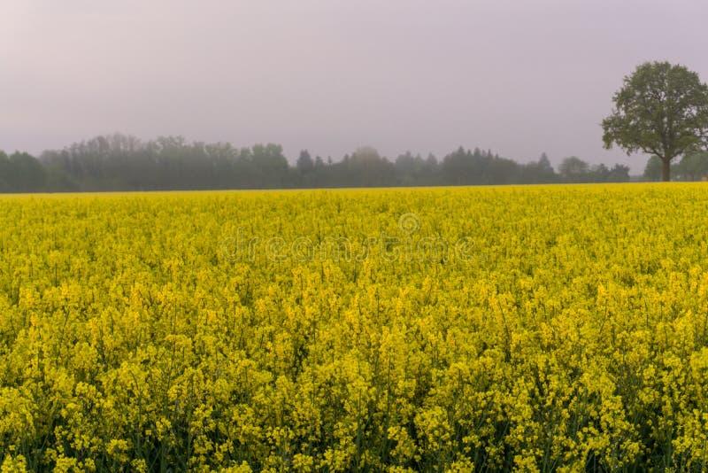 Поле на восходе солнца, туман рапса стоковые фотографии rf