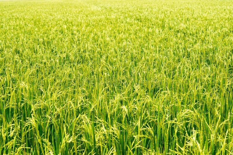 Поле неочищенных рисов стоковые фотографии rf