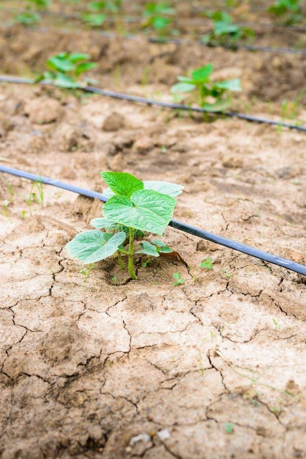 Поле огурца растя с ирригационной системой капельного орошения стоковое фото