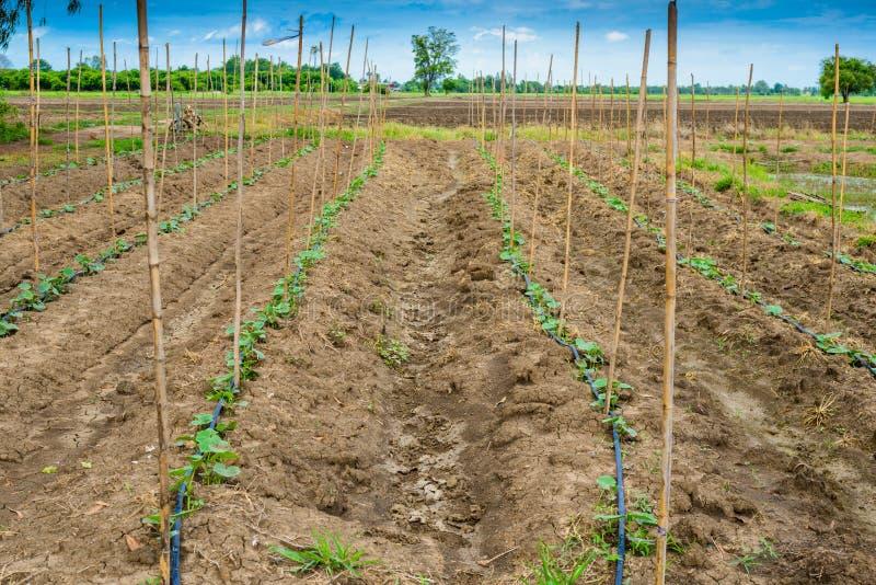 Поле огурца растя с ирригационной системой капельного орошения стоковое фото rf