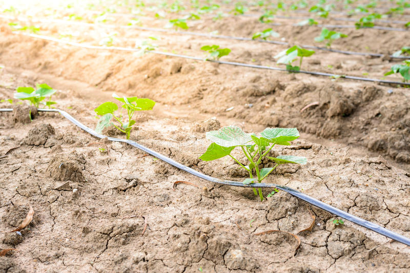 Поле огурца растя с ирригационной системой капельного орошения стоковые фото