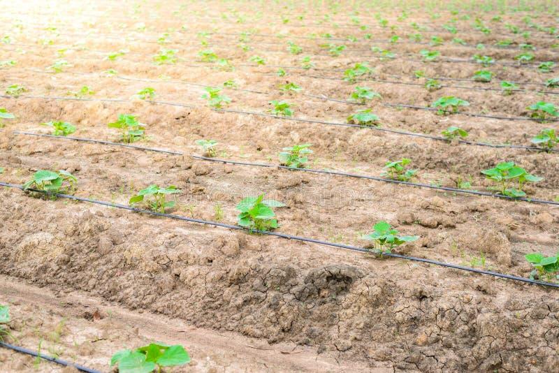 Поле огурца растя с ирригационной системой капельного орошения стоковая фотография rf
