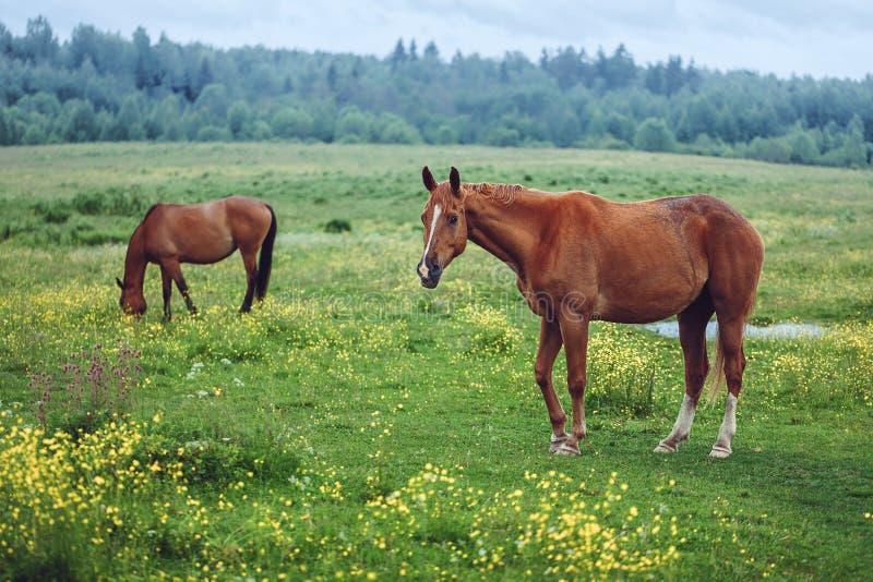 поле пася лошадей 2 стоковые фото