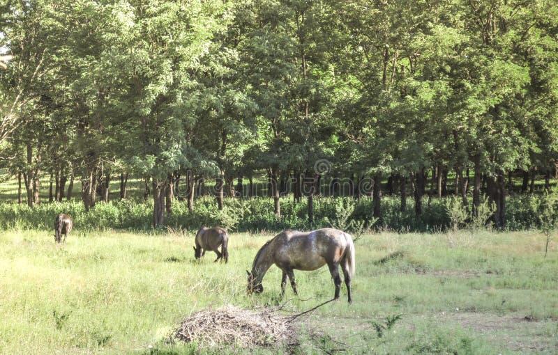 поле пася лошадей стоковые изображения rf