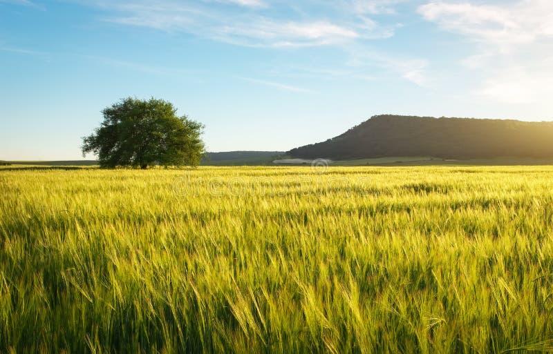 Поле пшеницы в утре Сиротливое дерево в лужке стоковое фото rf