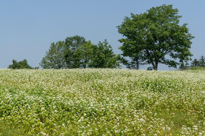 Поле пшеницы самца оленя стоковое изображение rf