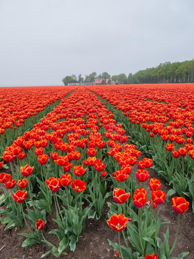 Поле пламенистая красной и апельсина покрасило тюльпаны стоковое изображение