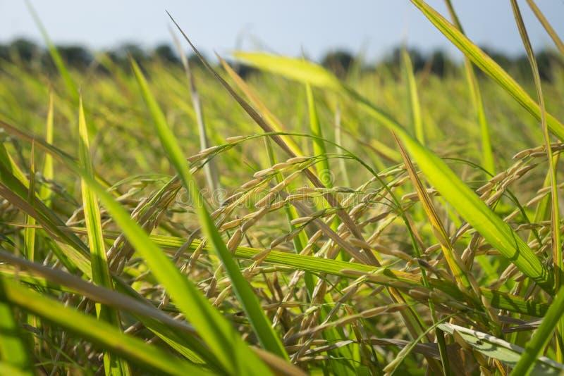 Поле риса в ниве стоковая фотография