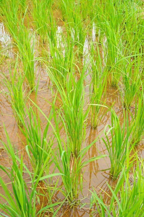 Поле риса в Таиланде стоковое фото