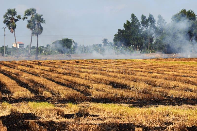 Поле риса горит для того чтобы подготовить землю стоковые фото