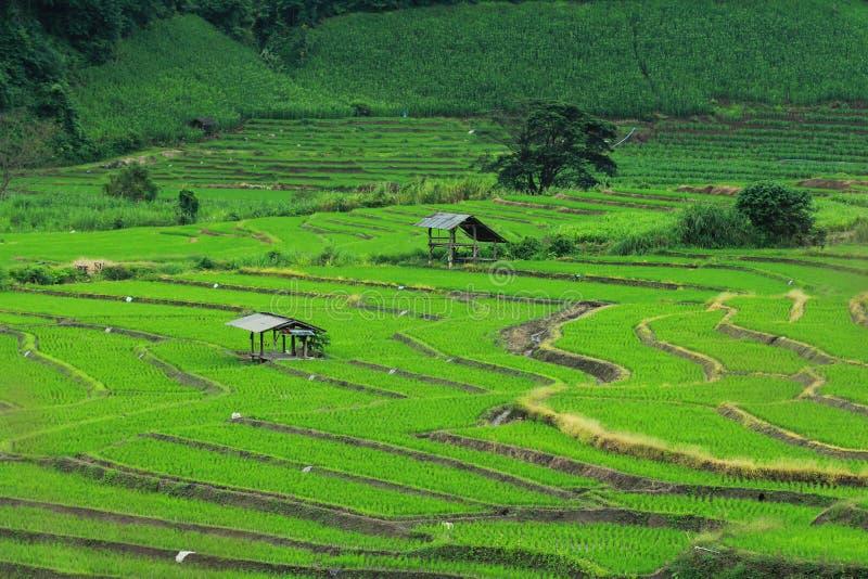 Поле риса зеленое стоковые фотографии rf