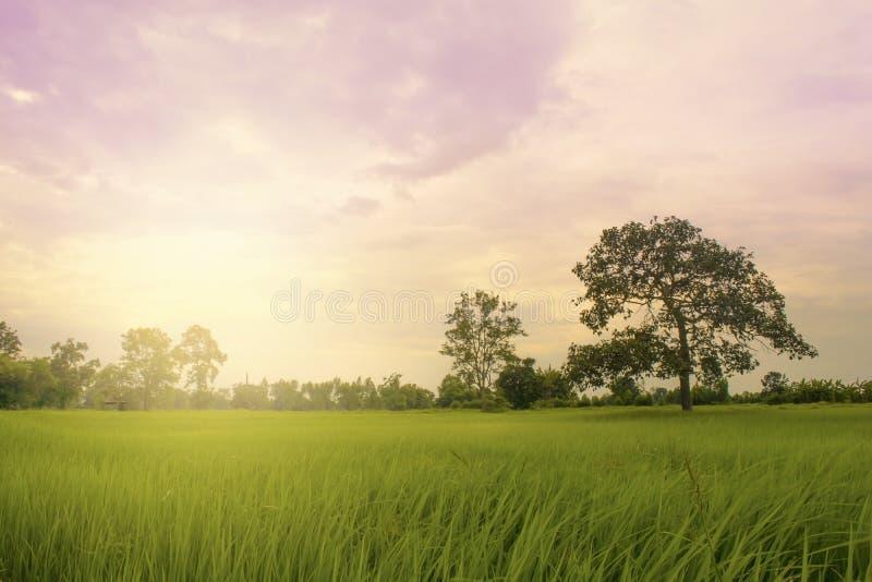 Поле риса с заходом солнца стоковые фото