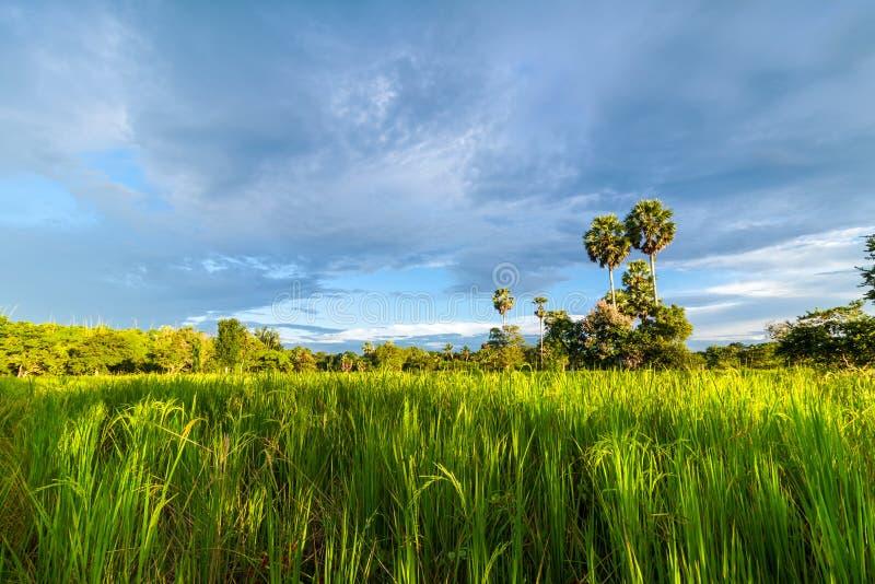 Поле риса с пальмой сахара стоковая фотография rf