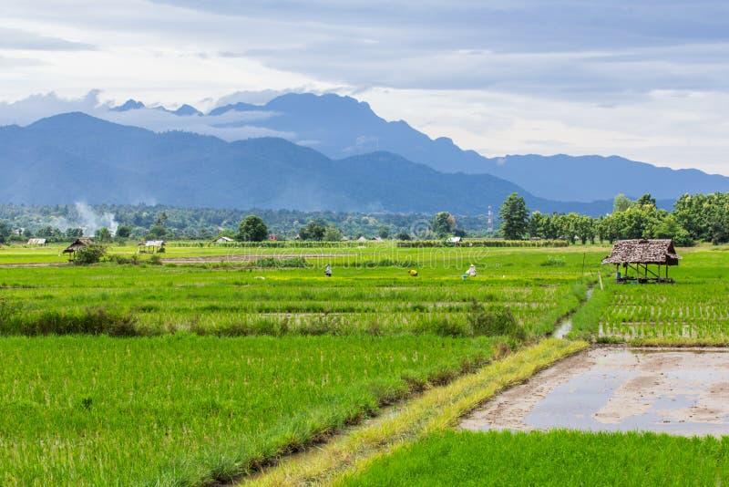 Поле риса с Luang Chiang Dao в Чиангмае, Таиланде стоковая фотография rf