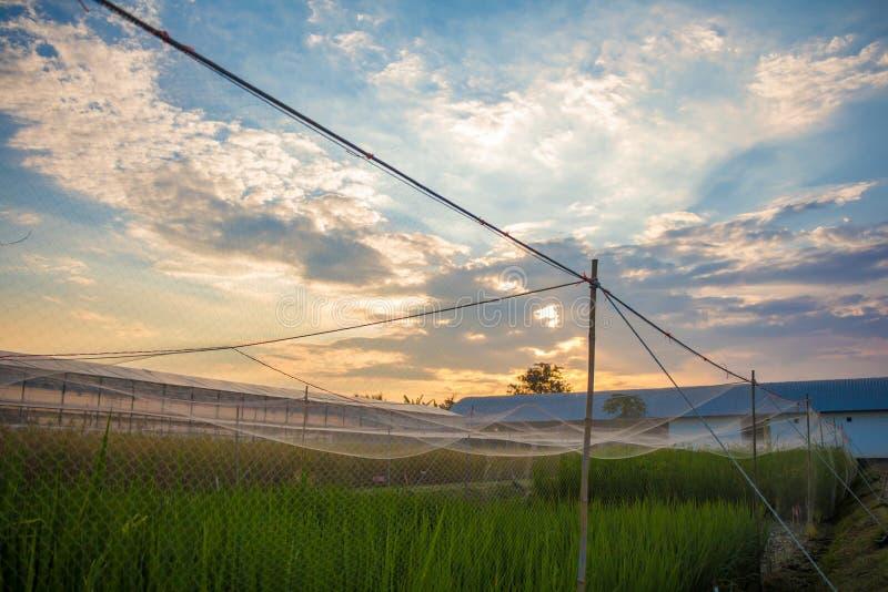 Поле риса фермера и захода солнца стоковое фото