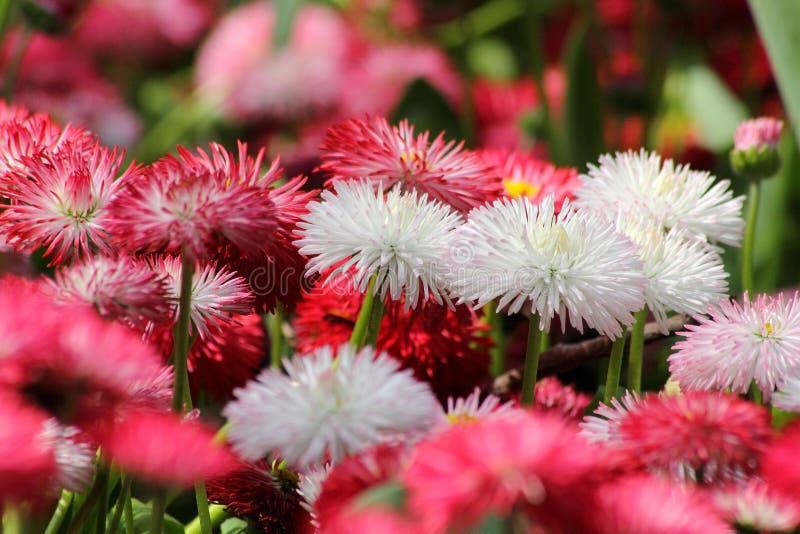 Поле розовых и белых цветков стоковое изображение rf