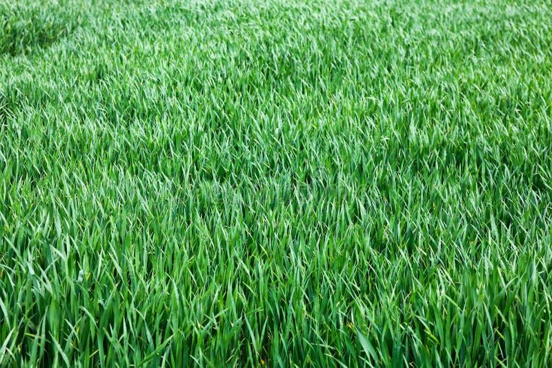 Поле свежей травы стоковая фотография rf