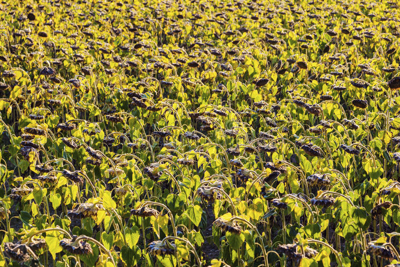 Поле солнцецвета в области Лозанны стоковая фотография