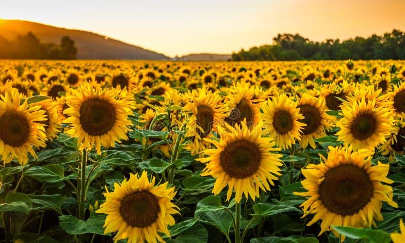 Поле солнцецвета на заходе солнца стоковое изображение