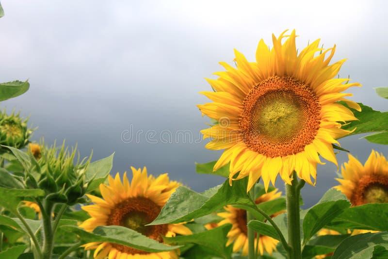 Поле солнцецвета на пасмурный день стоковое фото rf