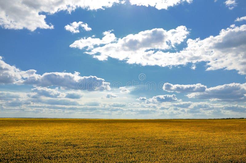 Поле солнцецвета против голубого летнего дня облачного неба стоковые фото