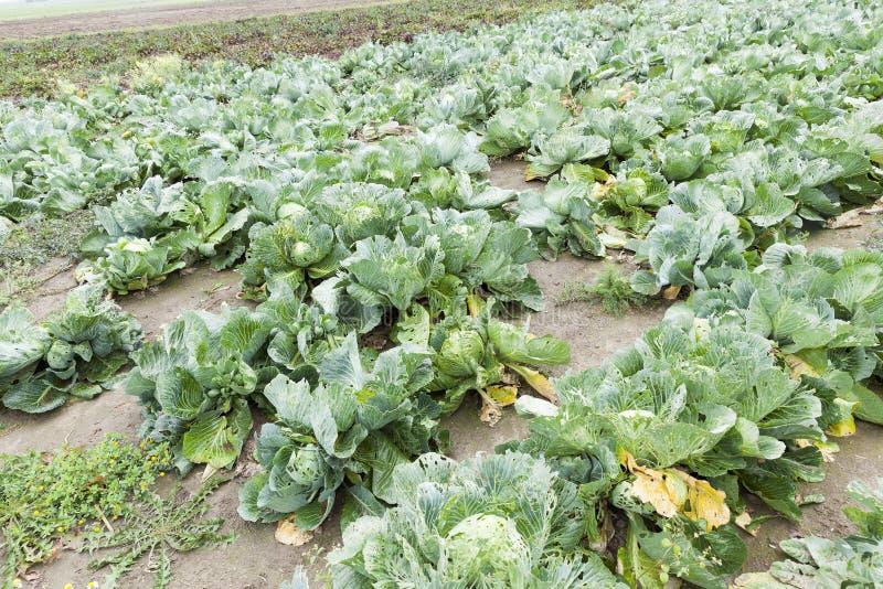 Поле с зеленой капустой стоковое изображение