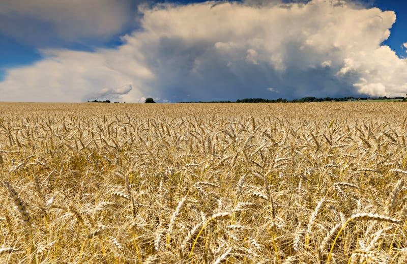 Поле с зрея пшеницей, Латвией стоковые фотографии rf