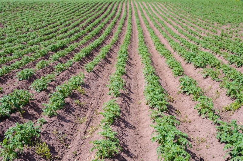 Download Поле с картошкой снимает крупный план Стоковое Изображение - изображение насчитывающей земля, ландшафты: 41658259