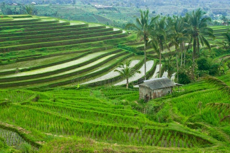 Поле террасы Бали стоковое изображение