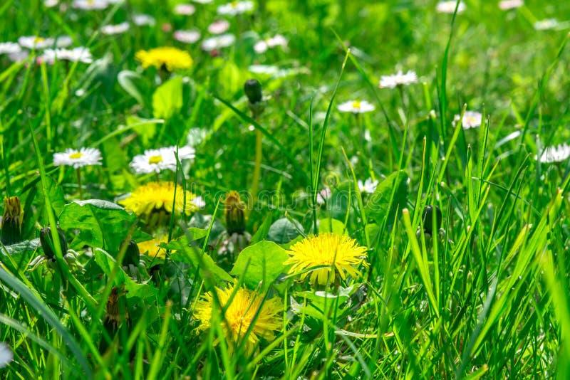 Поле травы вполне трав и полевых цветков стоковое изображение