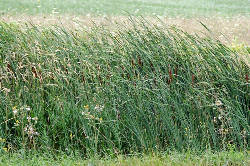 Поле тростников стоковое изображение rf