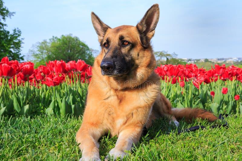 Поле тюльпана собаки немецкой овчарки стоковая фотография rf