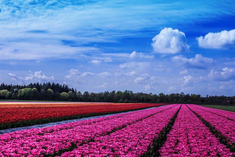 Поле тюльпана стоковая фотография