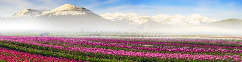 Поле тюльпанов под горой снега стоковое изображение