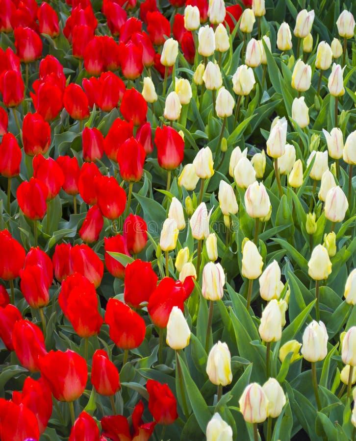 Поле тюльпанов цветет тюльпаны Красные и белые тюльпаны Справочная информация стоковая фотография