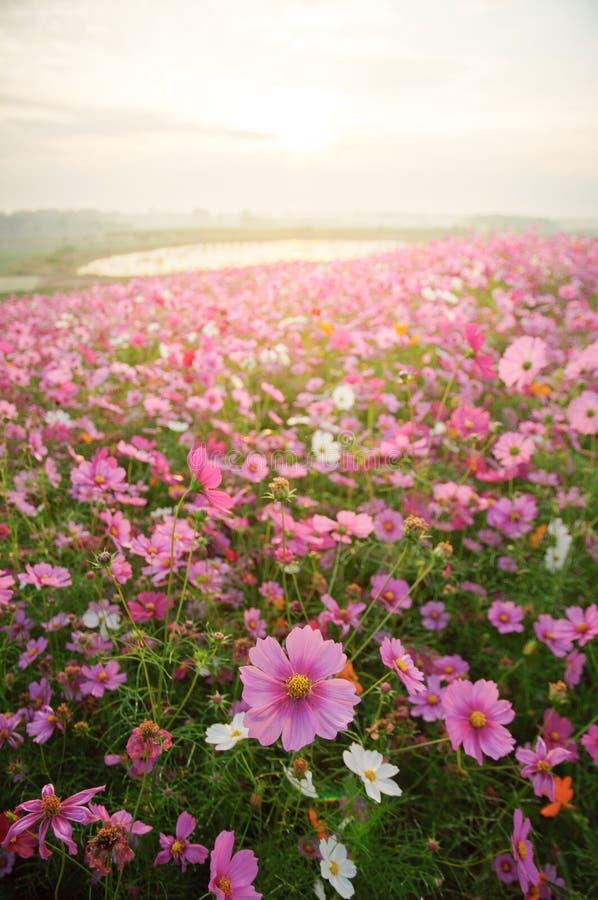 Поле цветка космоса с восходом солнца стоковые изображения