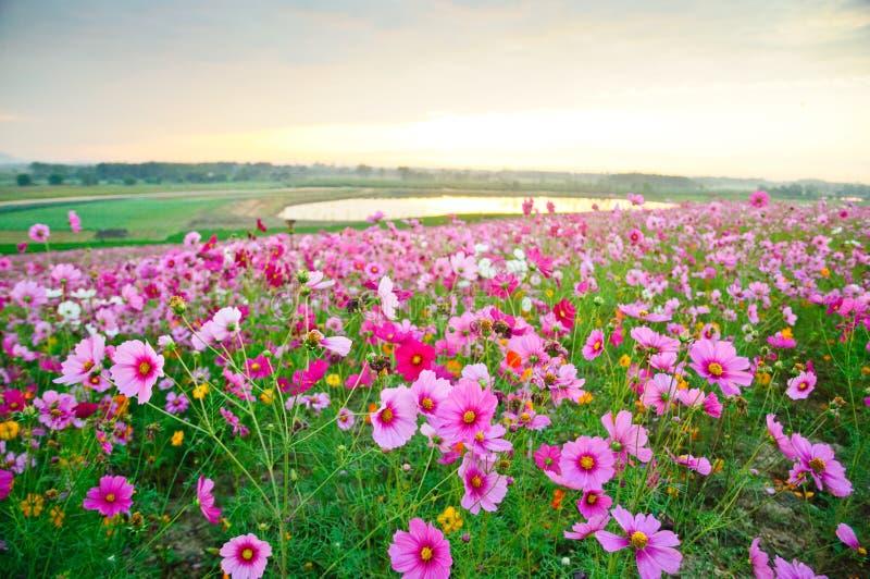 Поле цветка космоса с восходом солнца стоковые фотографии rf