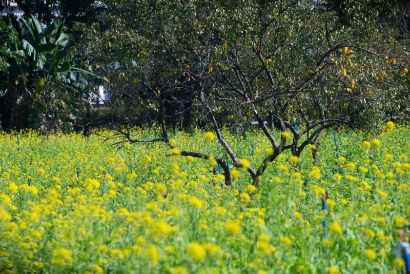Поле цветка рапса стоковые изображения rf