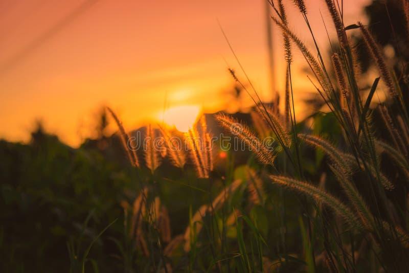Поле цветка травы на времени захода солнца стоковое фото rf