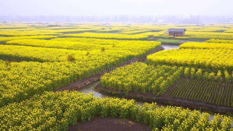 Поле цветков рапса стоковое изображение