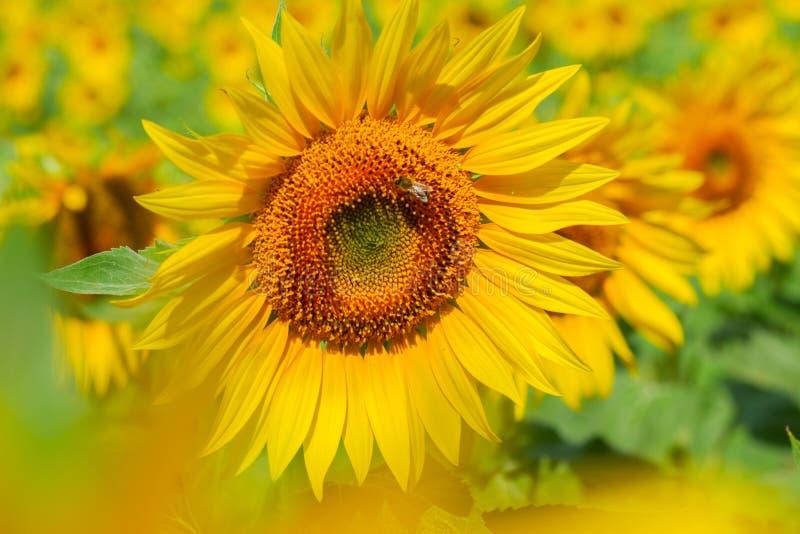 поле l солнцецветы стоковое изображение rf
