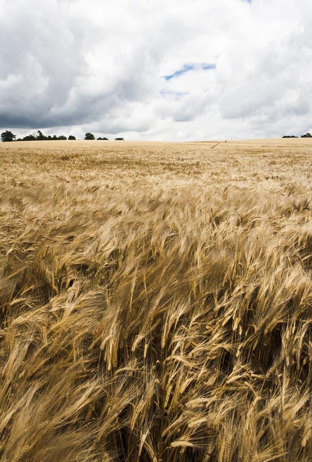 Поле Rye в ветре стоковые фото