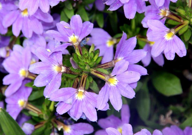 Ползание aemula Scaevola австралийское, цветок вентилятора стоковое изображение rf